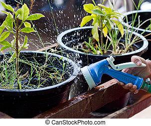 spraying the plant.