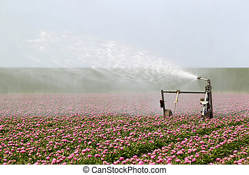 spraying the tulip crop