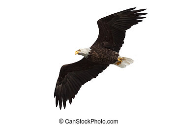 spread wing bald eagle soars across the sky, white ...