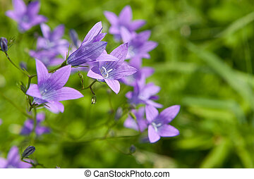 Spreading bellflower (Campanula patula) in the summer meadow