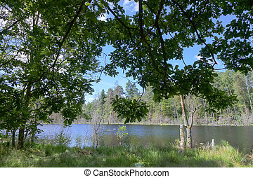 spreading oak on the shore of a forest pond, picturesque forest lake