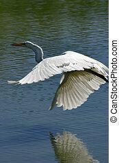 Great Egret, Ardea alba, Casmerodius albus.
