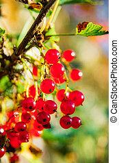 sprig, berries, currant, rød