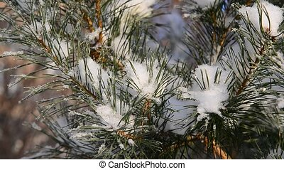 pine trees covered with snow and frost
