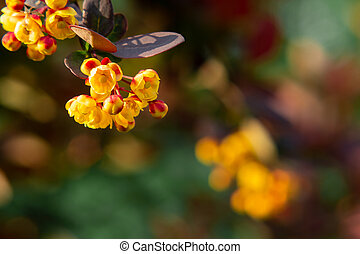 Sprig of barberry Thunberg with red leaves and yellow flowers, close-up, copy space