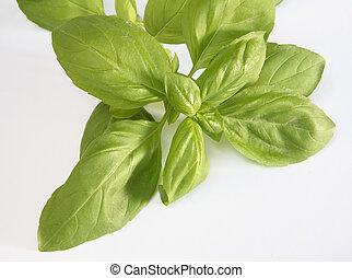 Sprig of basil - A sprig of large-leafed italian basil.