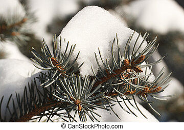 sprig of blue spruce in the snow