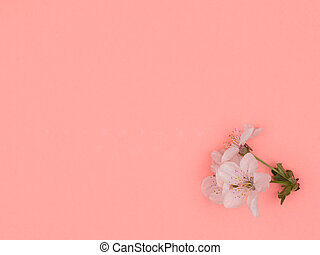 Sprig of cherry blossoms on a pink background. White flowers.