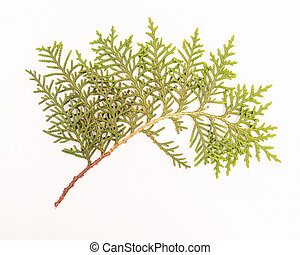 Sprig of green arborvitae