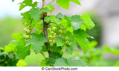Sprig of green immature currant