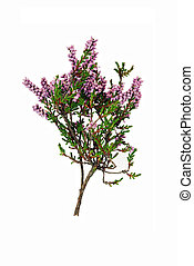 Sprig of heather - isolated - Said to bring good luck.