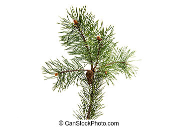 Sprig of pine with cones isolated on white background