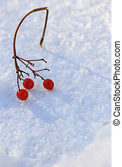 Sprig of red cranberries in the snow, background