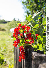 Sprig of red currants on a wooden fence