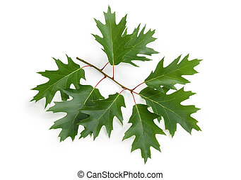 Sprig of red oak with leaves on a white background