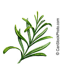Sprig of rosemary. Watercolor illustration on a white ...