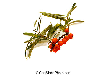 Sprig of sea buckthorn berries on a white background