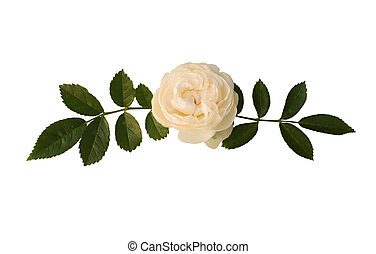 Sprig of tea-rose on the white background