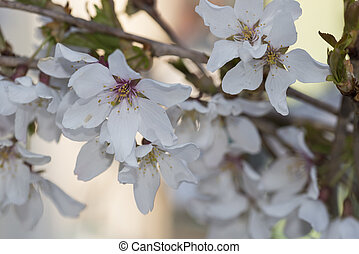 Sprig of white Cherry blossom flowers