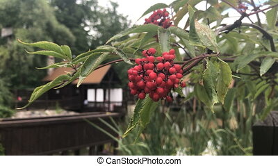 sprig red Viburnum with green leaves on the street