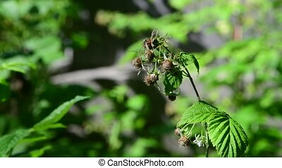 Sprigs of green unripe raspberries in nature - Sprigs of...