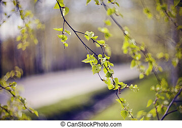 spring., àppearing, feuilles, branches, bouleau