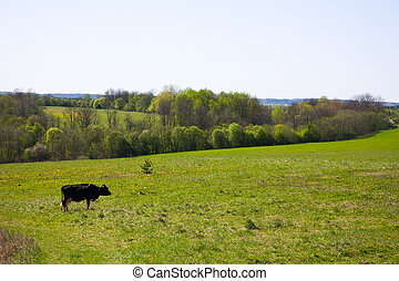 spring, a cow on the meadow