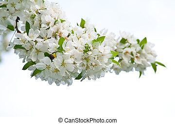 Spring apple blossom tree