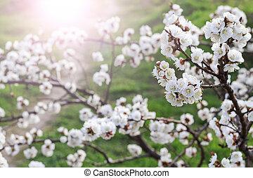 spring apple blossom with sunny hotspot