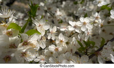 Spring apple blossoms. Apple tree blossoms in the sunshine...