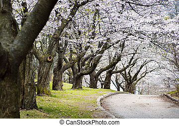 Spring apple orchard - Row of blooming apple trees in spring...