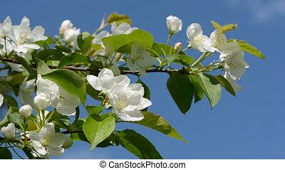 spring apple tree blossoms