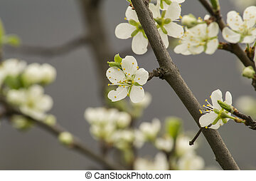 Spring - Apple tree in bloom