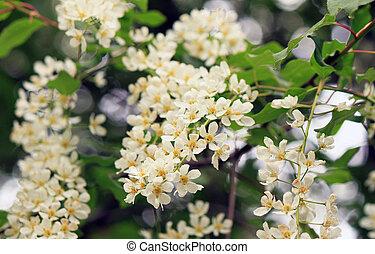 Spring apple tree in bloom with flowers