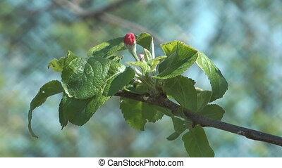 Spring apple-tree.