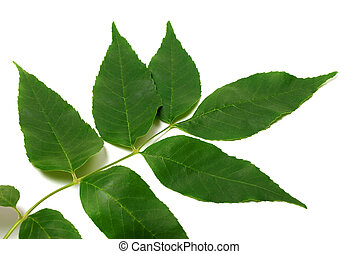 Spring ash-tree leaves on white