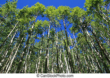 looking up towards the top of an aspen grove in the spring with fresh green leaves