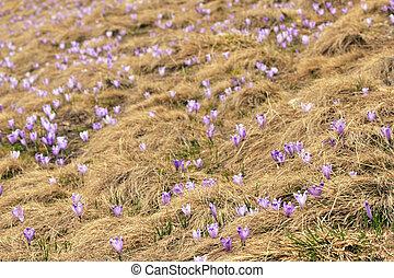 Spring Awakening, Flowers Of Crocuses On Romania Mountains In Spring