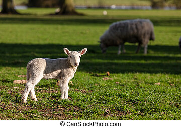 Spring Baby Lamb and Sheep in a Field