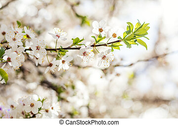 Spring background art with white cherry blossom. Beautiful nature scene with blooming tree. Sunny day. Spring flowers. Beautiful orchard. Abstract blurred background. Shallow depth of field.