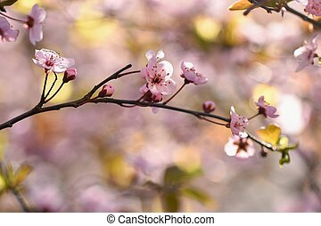 Spring background. Beautiful flowering tree Japanese cherry - Sakura. Flowers on a sunny day.