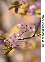 Spring background. Beautiful flowering tree Japanese cherry - Sakura. Flowers on a sunny day.