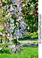 Spring background. Blooming Apple tree