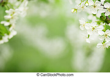Spring background - Blossoming of cherry flowers in spring...