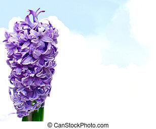 Hyacinthus Flower on Blue Sky