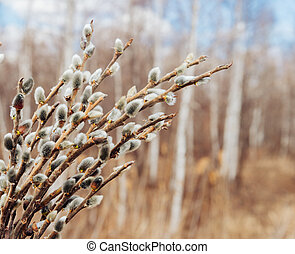 Spring background of willow branches with fluffy catkins