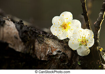 Spring background with plum flowers