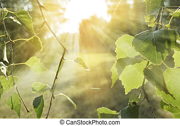 Spring background with young birch leaves. Tree branches against a natural texture with highlights and rays of the sun