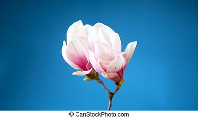 spring beautiful blooming magnolia on a blue background