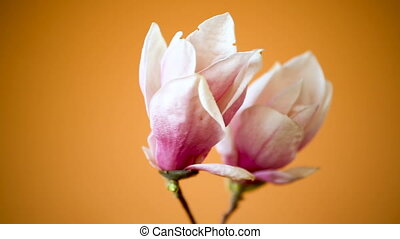 spring beautiful blooming magnolia on a orange background